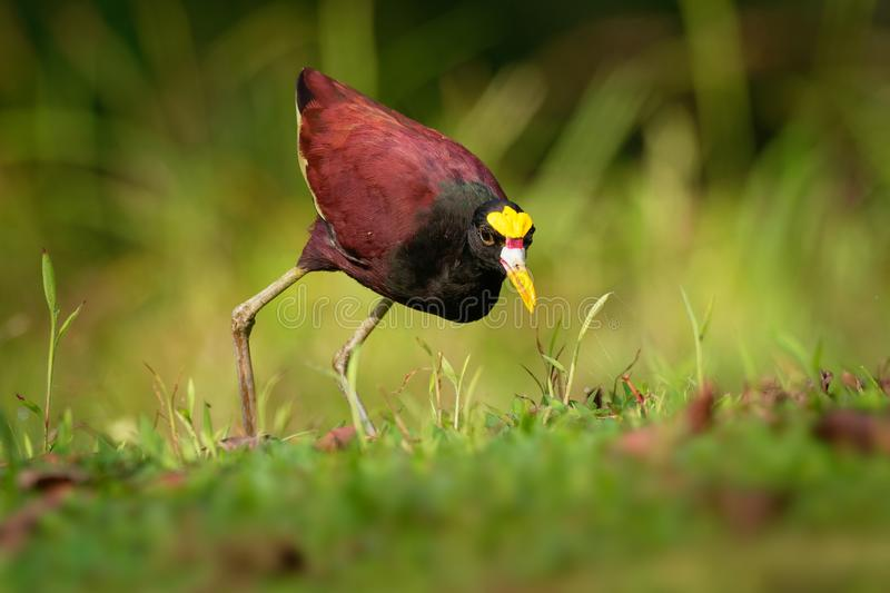 Northern Jacana - Jacana spinosa is a wader which is a resident breeder from coastal Mexico to western Panama, and on Cuba, royalty free stock photo