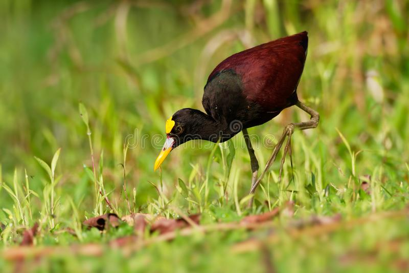 Northern Jacana - Jacana spinosa is a wader which is a resident breeder from coastal Mexico to western Panama, and on Cuba, royalty free stock photos