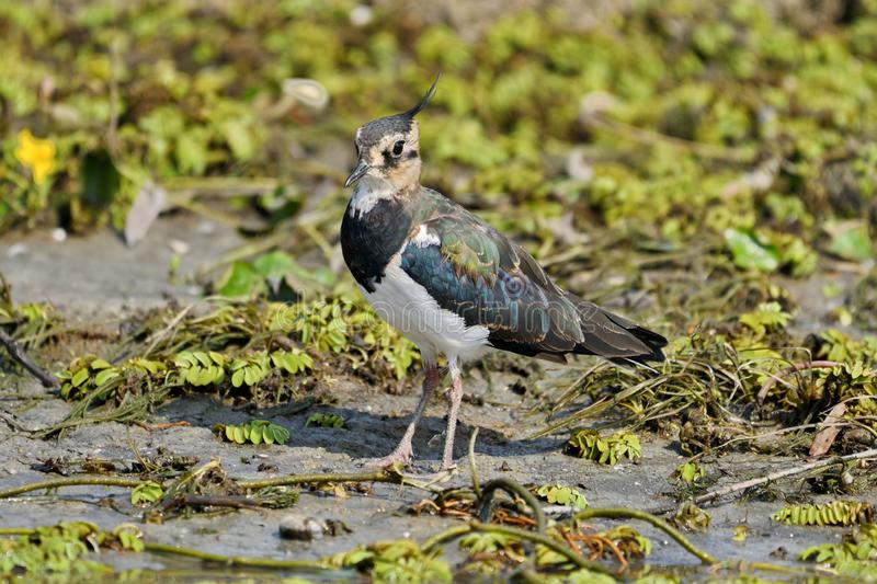 Northern Lapwing Vanellus vanellus. The Northern Lapwing Vanellus vanellus, also known as the Peewit, Green Plover or in the British Isles just Lapwing, is a stock image