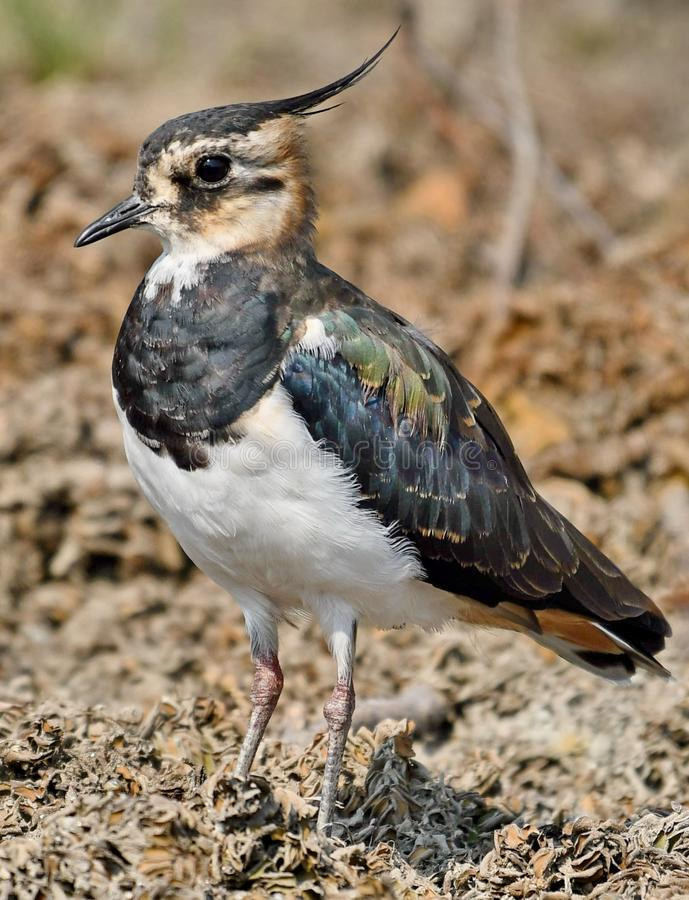 Northern Lapwing Vanellus vanellus. The Northern Lapwing Vanellus vanellus, also known as the Peewit, Green Plover or in the British Isles just Lapwing, is a royalty free stock photos