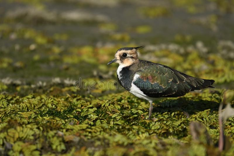 Northern Lapwing Vanellus vanellus. The Northern Lapwing Vanellus vanellus, also known as the Peewit, Green Plover or in the British Isles just Lapwing, is a stock photography