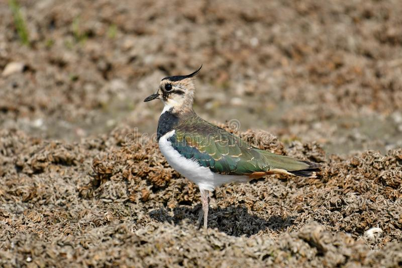 Northern Lapwing Vanellus vanellus. The Northern Lapwing Vanellus vanellus, also known as the Peewit, Green Plover or in the British Isles just Lapwing, is a stock photo