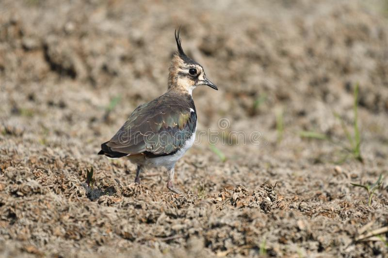 Northern Lapwing Vanellus vanellus. The Northern Lapwing Vanellus vanellus, also known as the Peewit, Green Plover or in the British Isles just Lapwing, is a royalty free stock image