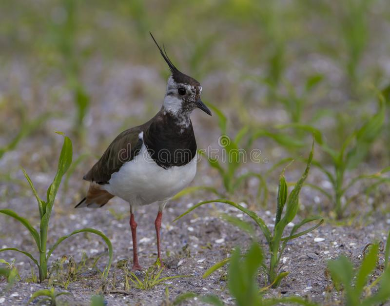 Northern Lapwing, Vanellus vanellus, in a field, Moro island, Denmark. Northern lapwing, Vanellus vanellus, walking in a field, Romo island, Denmark stock photos