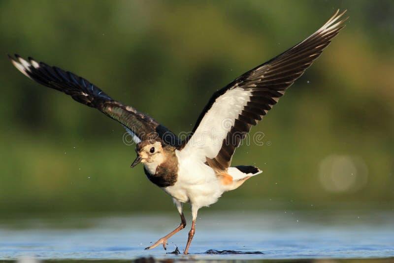 Download Northern Lapwing Vanellus Vanellus Stock Image - Image: 32311521