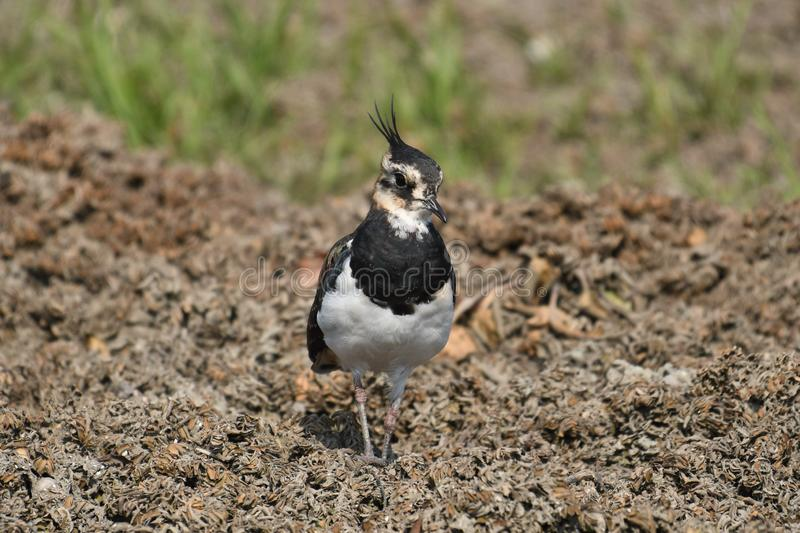 Northern Lapwing Vanellus vanellus. The Northern Lapwing Vanellus vanellus, also known as the Peewit, Green Plover or in the British Isles just Lapwing, is a stock images