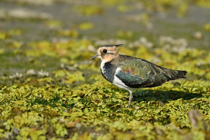 Northern Lapwing Vanellus vanellus. The Northern Lapwing Vanellus vanellus, also known as the Peewit, Green Plover or in the British Isles just Lapwing, is a royalty free stock photography