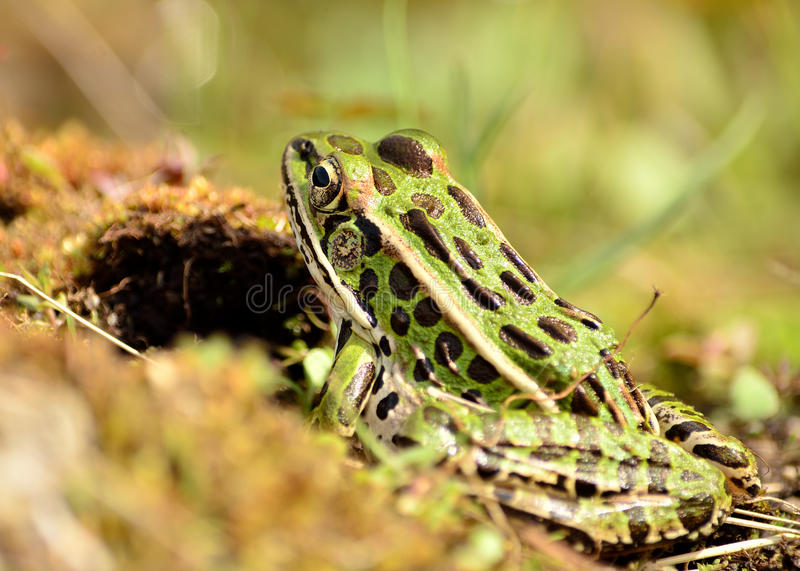Northern Leopard Frog. Perched in the grass royalty free stock photography
