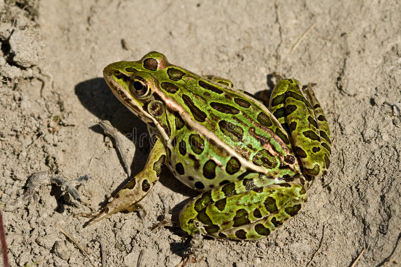 Northern leopard frog. A northern leopard frog sits on some dirt royalty free stock photo