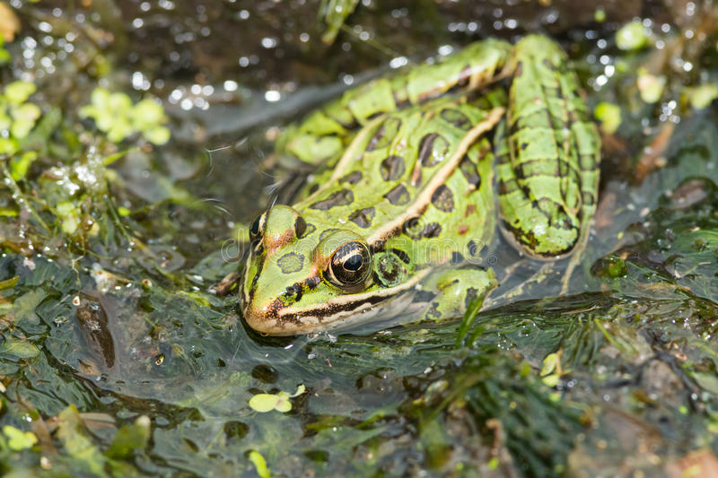 Northern Leopard Frog - Lithobates pipiens. Northern Leopard Frog basking at the edge of a pond. Rouge National Urban Park, Toronto, Ontario, Canada royalty free stock images