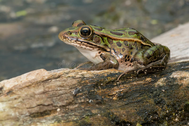 Northern Leopard Frog - Lithobates pipiens. Northern Leopard Frog basking on a log Rouge National Urban Park, Toronto, Ontario, Canada royalty free stock photo