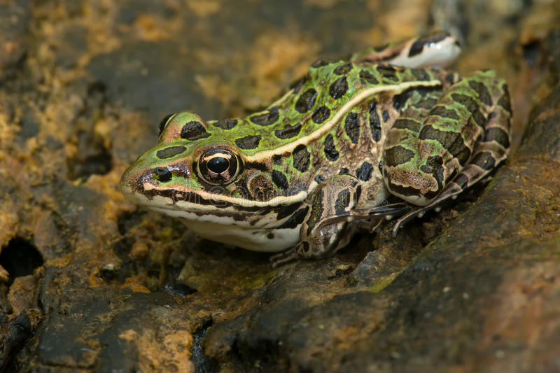 Northern Leopard Frog - Lithobates pipiens. Northern Leopard Frog basking on a log. Rouge National Urban Park, Toronto, Ontario, Canada royalty free stock image