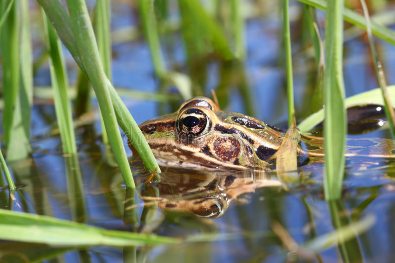 Northern Leopard Frog Illinois Wetland. Northern Leopard Frog (Rana pipiens) peeks out of the water in northern Illinois stock photography