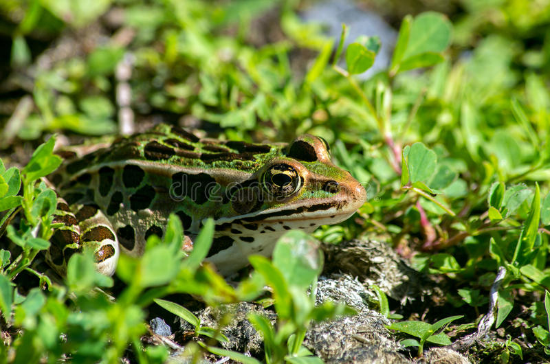Northern Leopard Frog. On land royalty free stock photography