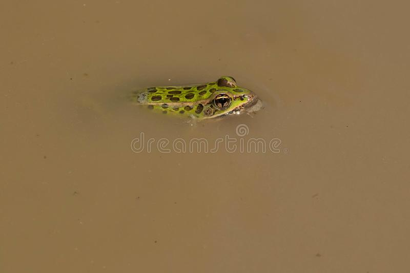 Northern Leopard Frog - Lithobates pipiens. Northern Leopard Frog basking in the shallow muddy water. Also known as a Meadow Frog. Carden Alvar Provincial Park stock photo