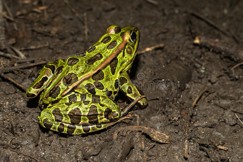 Northern Leopard Frog (Lithobates pipiens). Bright green Northern Leopard Frog (Lithobates pipiens) on forest floor royalty free stock photography