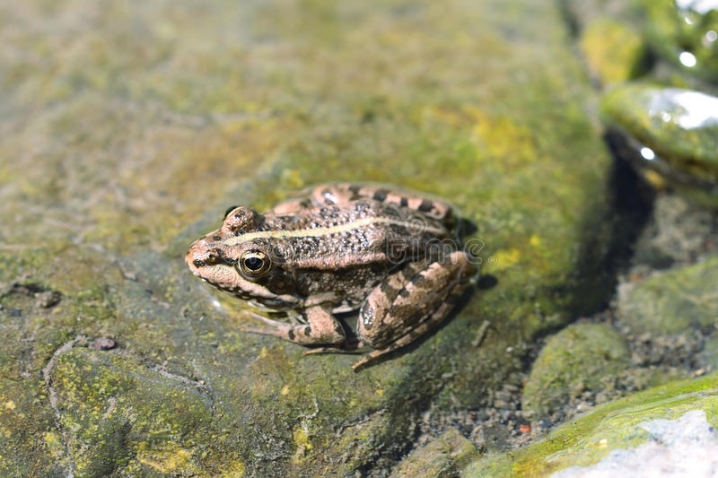 Northern Leopard Frog (Lithobates pipiens). In Canary islands stock photo