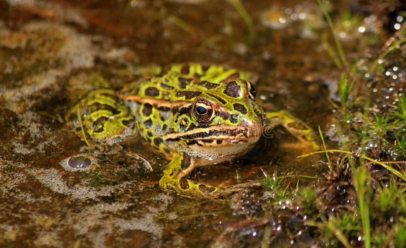 Northern leopard frog (Lithobates pipiens) stock images