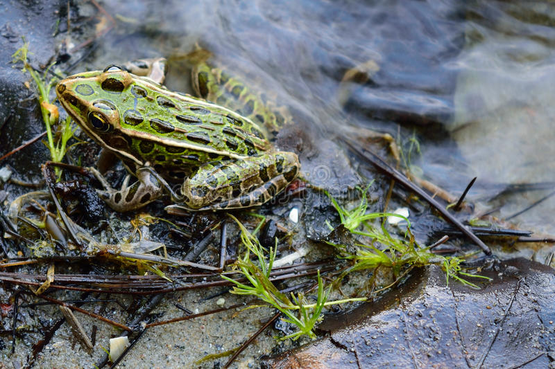 Northern Leopard Frog (Lithobates pipiens) on Lake Shoreline. In Northern Minnesota royalty free stock photo