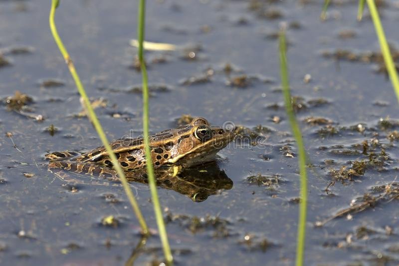The northern leopard frog Lithobates pipiens o. N the meadow on the marsh stock image