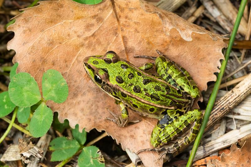 Northern Leopard Frog - Lithobates pipiens. A Northern Leopard Frog is resting on a dead lean lying on the ground. Also known as a Meadow Frog. Presqu`ile stock photography