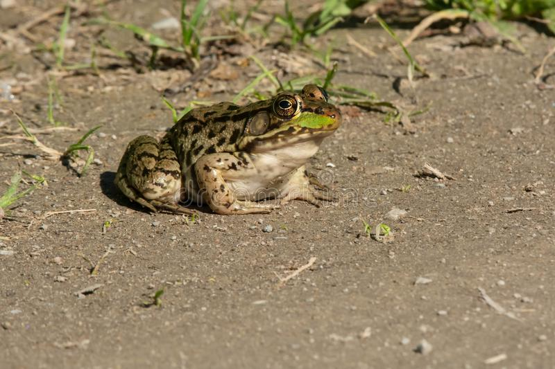 Northern Leopard Frog - Lithobates pipiens. Northern Leopard Frog sitting on the edge of a sandy path basking in the sun. Carden Alvar Provincial Park, Kawartha stock photo