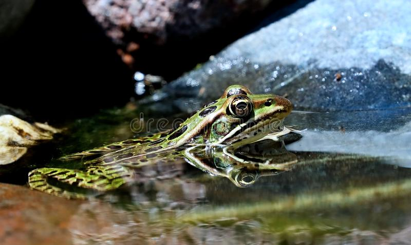Northern Leopard Frog Lithobates pipiens in water. Northern Leopard Frog Lithobates pipiens ,nature scene from Wisconsin royalty free stock photography