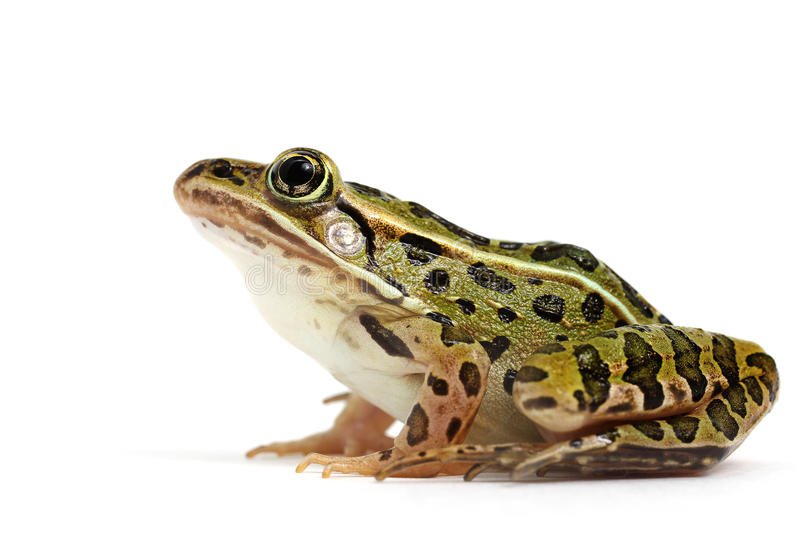 Northern Leopard Frog (Lithobates pipiens) royalty free stock photo
