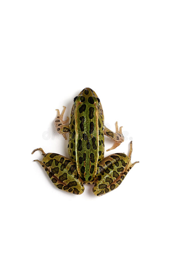 Northern Leopard Frog (Lithobates pipiens) stock photography