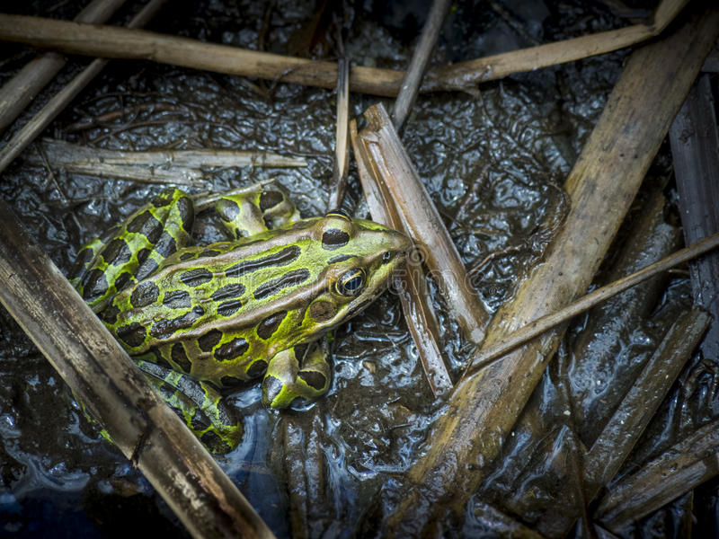 Northern Leopard Frog. In a marsh royalty free stock image