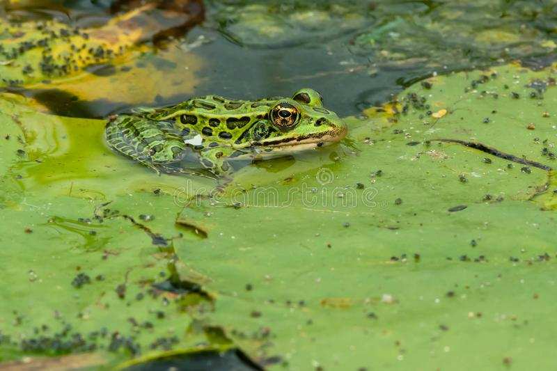 Northern Leopard Frog - Lithobates pipiens. Northern Leopard Frog basking on a lily pad. Rouge National Urban Park, Toronto, Ontario, Canada stock photography