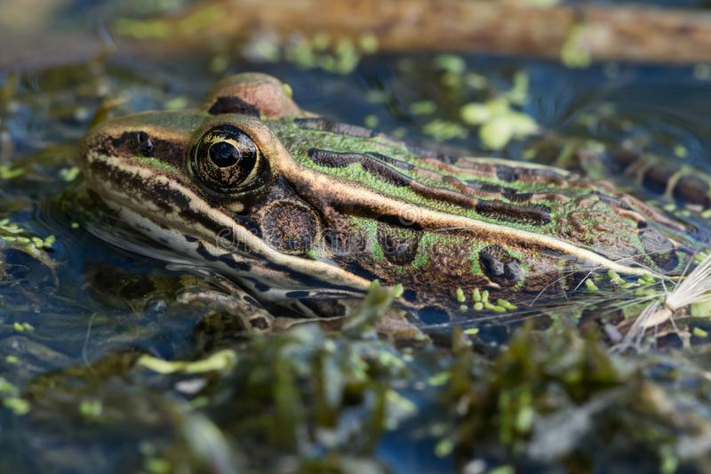 Northern Leopard Frog. A Northern Leopard Frog floating in a pond in Wisconsin stock images