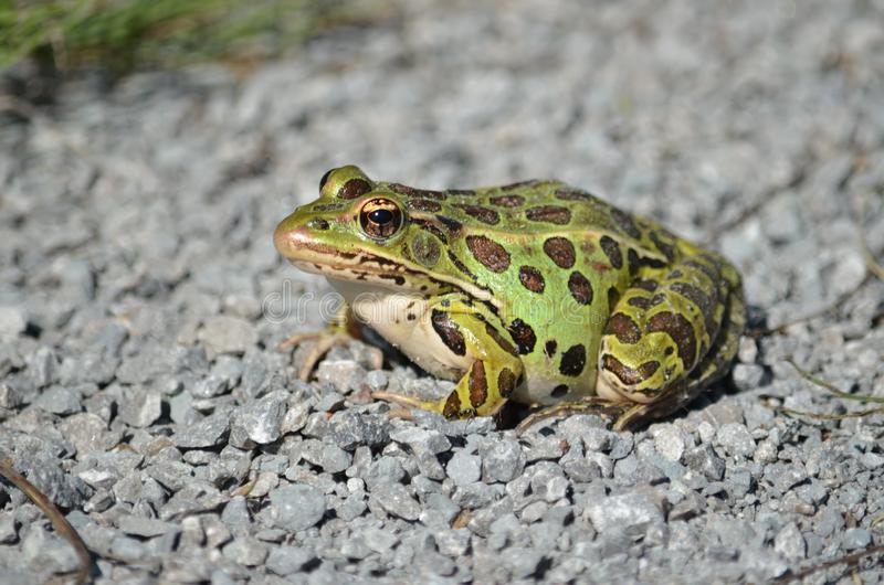 Northern Leopard Frog. Lithobates pipiens stock image