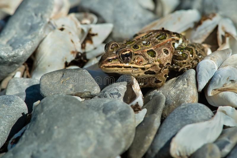 Northern Leopard Frog - Lithobates pipiens. Northern Leopard Frog resting in some gravel. Presqu'ile Provincial Park, Brighton, Ontario, Canada stock photography