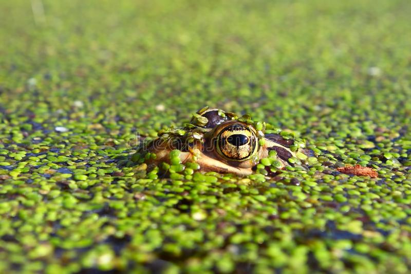 Northern Leopard Frog (Rana pipiens). Near the Kishwaukee River in northern Illinois stock photography