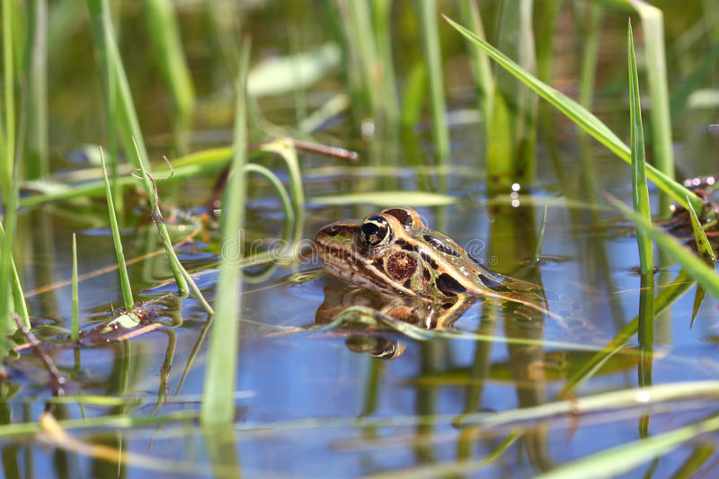 Northern Leopard Frog (Rana pipiens). Peeks out of the water in northern Illinois royalty free stock images