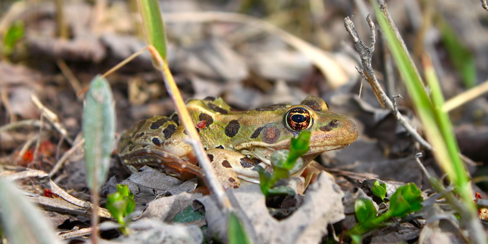 Northern Leopard Frog (Rana pipiens). In northern Illinois royalty free stock photography