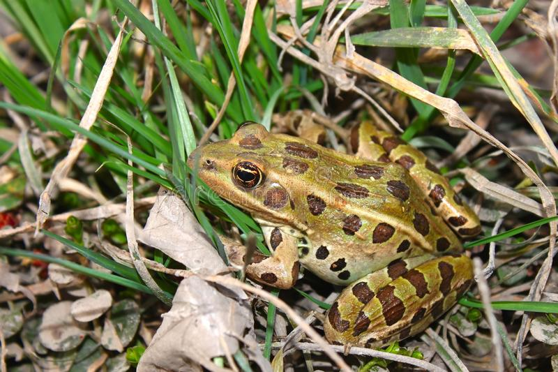Northern Leopard Frog (Rana pipiens). In northern Illinois stock photos