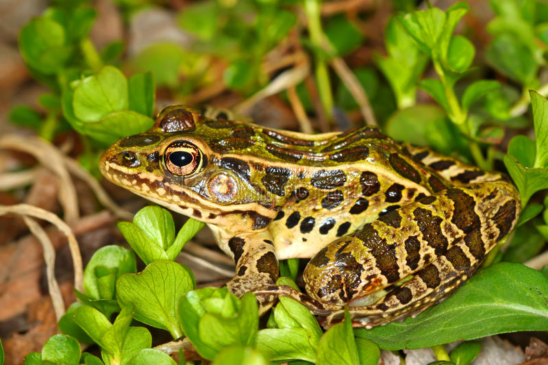 Northern Leopard Frog (Rana pipiens). At Lib Conservation Area in northern Illinois royalty free stock image