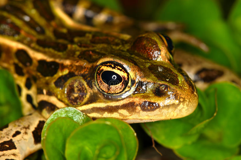 Northern Leopard Frog (Rana pipiens). At Lib Conservation Area in northern Illinois stock images