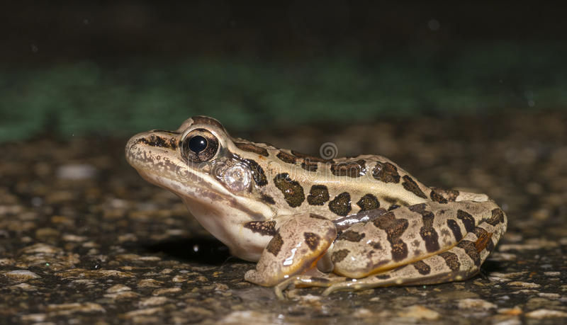 Northern Leopard Frog. (Rana pipiens) overview royalty free stock images