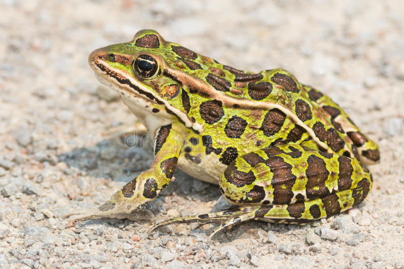 Northern Leopard Frog - Lithobates pipiens. Northern Leopard Frog sitting on a gravel path basking in the sun. Carden Alvar Provincial Park, Kawartha Lakes royalty free stock photography