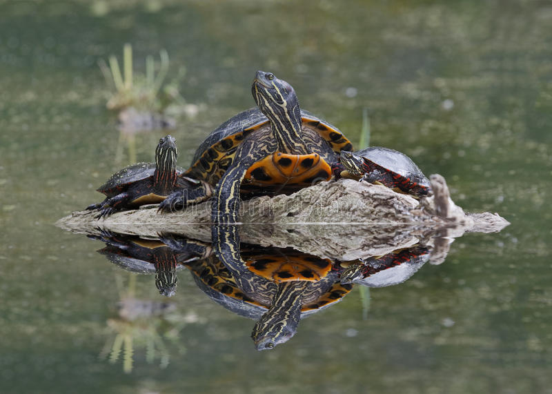 Northern Map Turtle and Midland Painted Turtles Basking on a Log. Northern Map Turtle (Graptemys geographica) and Midland Painted Turtles Chrysemys picta stock photo