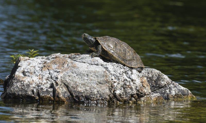 Download Northern Map Turtle stock image. Image of macro, northern - 33648083