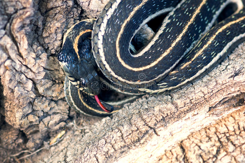 Northern Mexican garter snake (Thamnophis eques) with tongue ha. Nging out is curled up on the roots of the tree stock photo