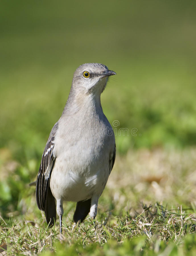Download Northern Mockingbird stock image. Image of beast, creature - 17689257