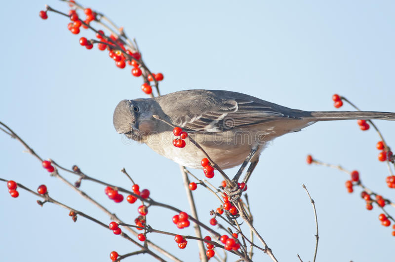 Northern Mockingbird. A northern mockingbird perched on a berry vine royalty free stock photography
