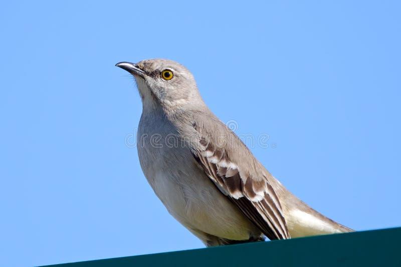 Download Northern Mockingbird stock photo. Image of feathers, birder - 22753186
