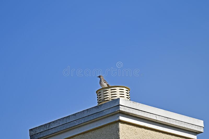 A Northern mockingbird on the Chimney royalty free stock image