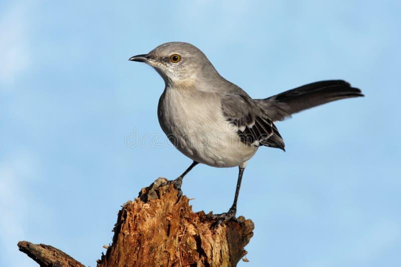 Northern Mockingbird (Mimus polyglottos) royalty free stock photo